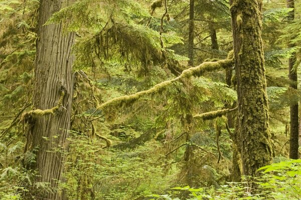 Old Growth Rainforest In Pacific Rim National Park Vancouver Island Canada