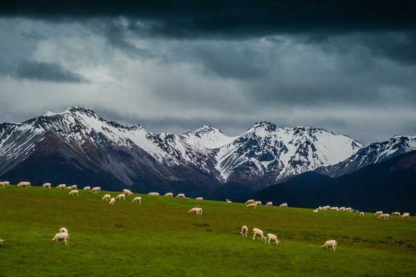 Sheep On Mountain Pasture