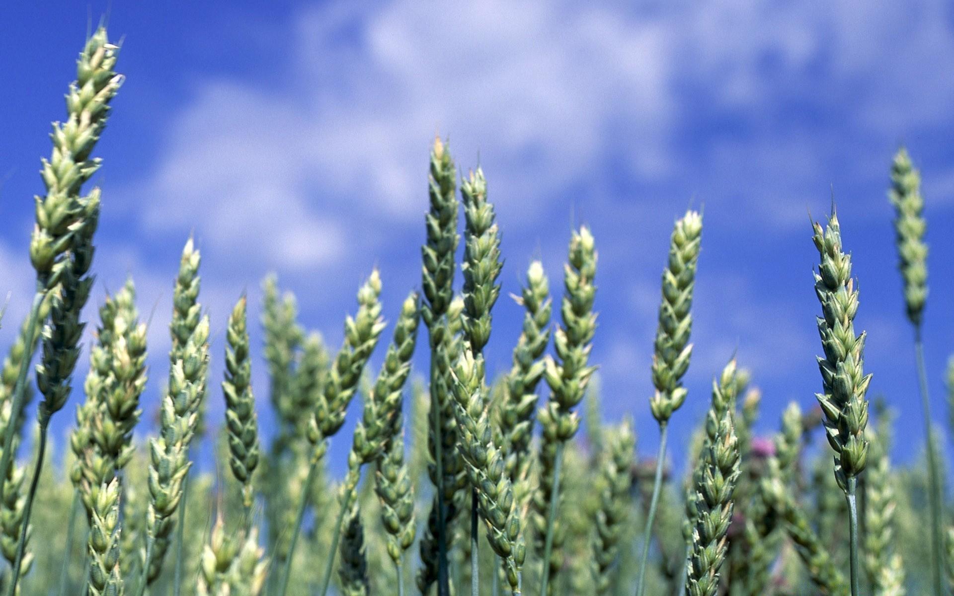 Зеленая пшеница  № 2559180  скачать