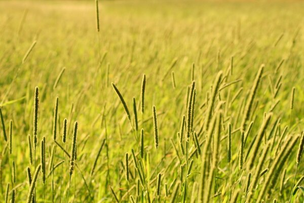 Grass Field, Summer