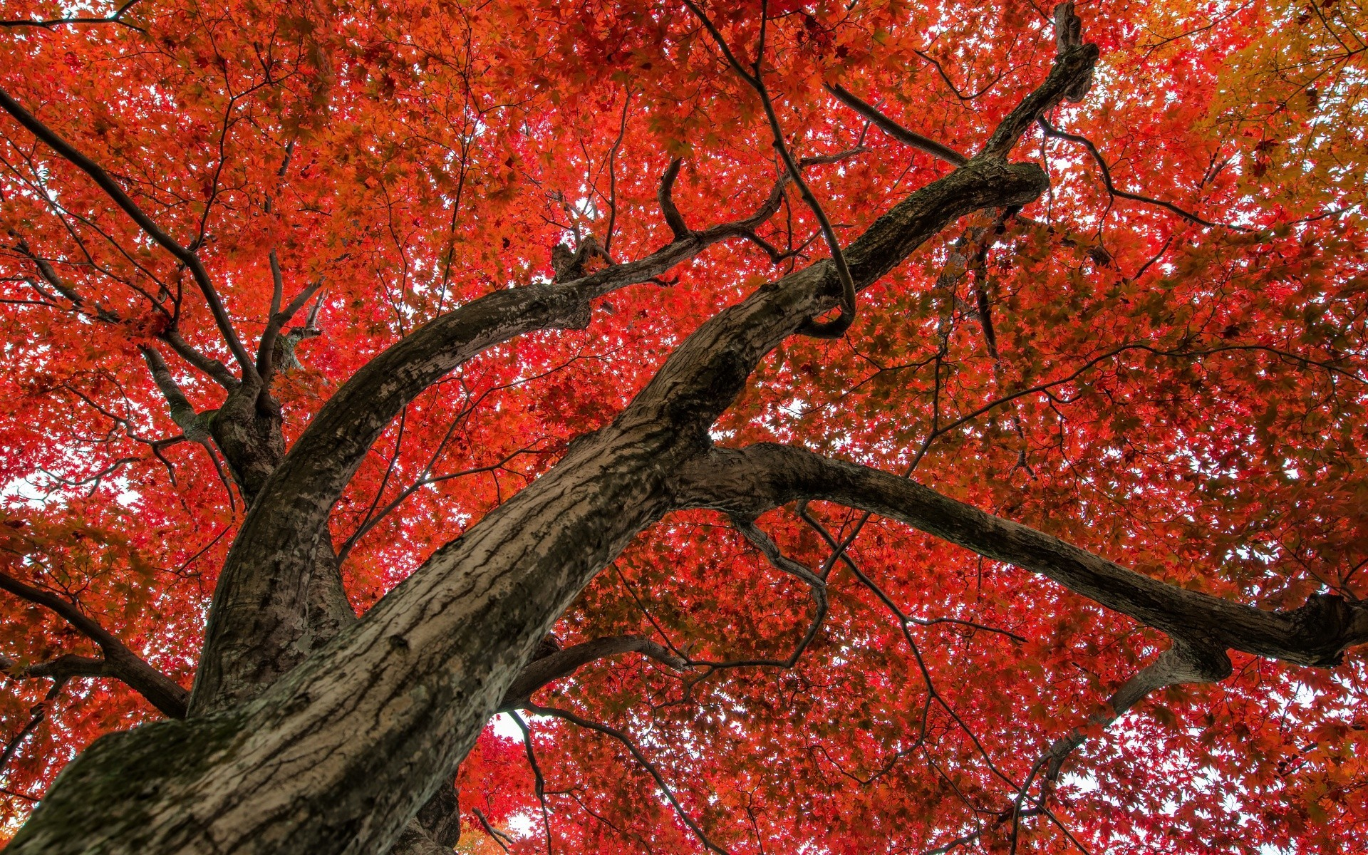 Japanese Maple Late Autumn Scene Free Wallpapers