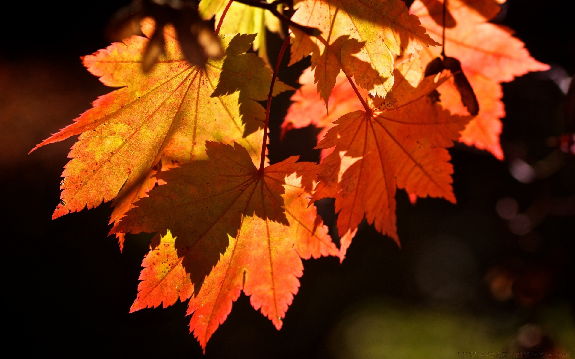 autumn leaf fall maple nature change bright outdoors flora lush tree color