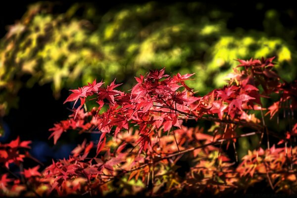 Maple Leaves, Autumn, Japan