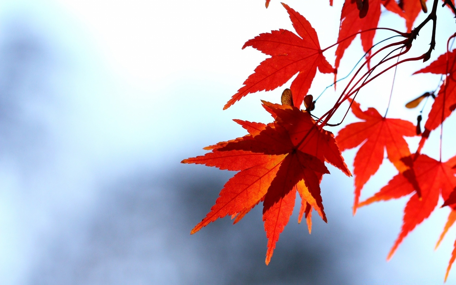 red leaves, bokeh. android wallpapers for free.