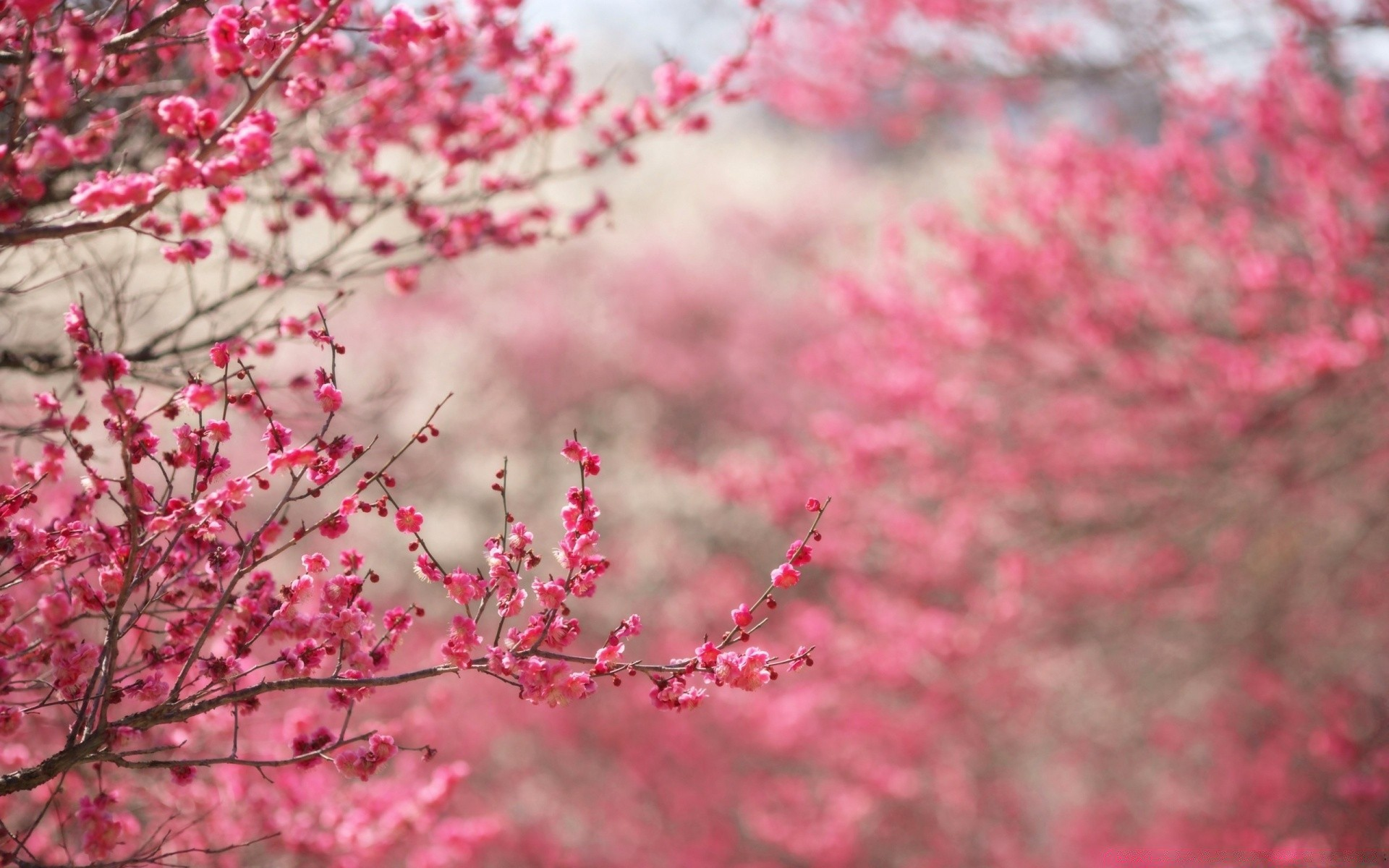 Sakura Cherry Blossom Android Wallpapers For Free