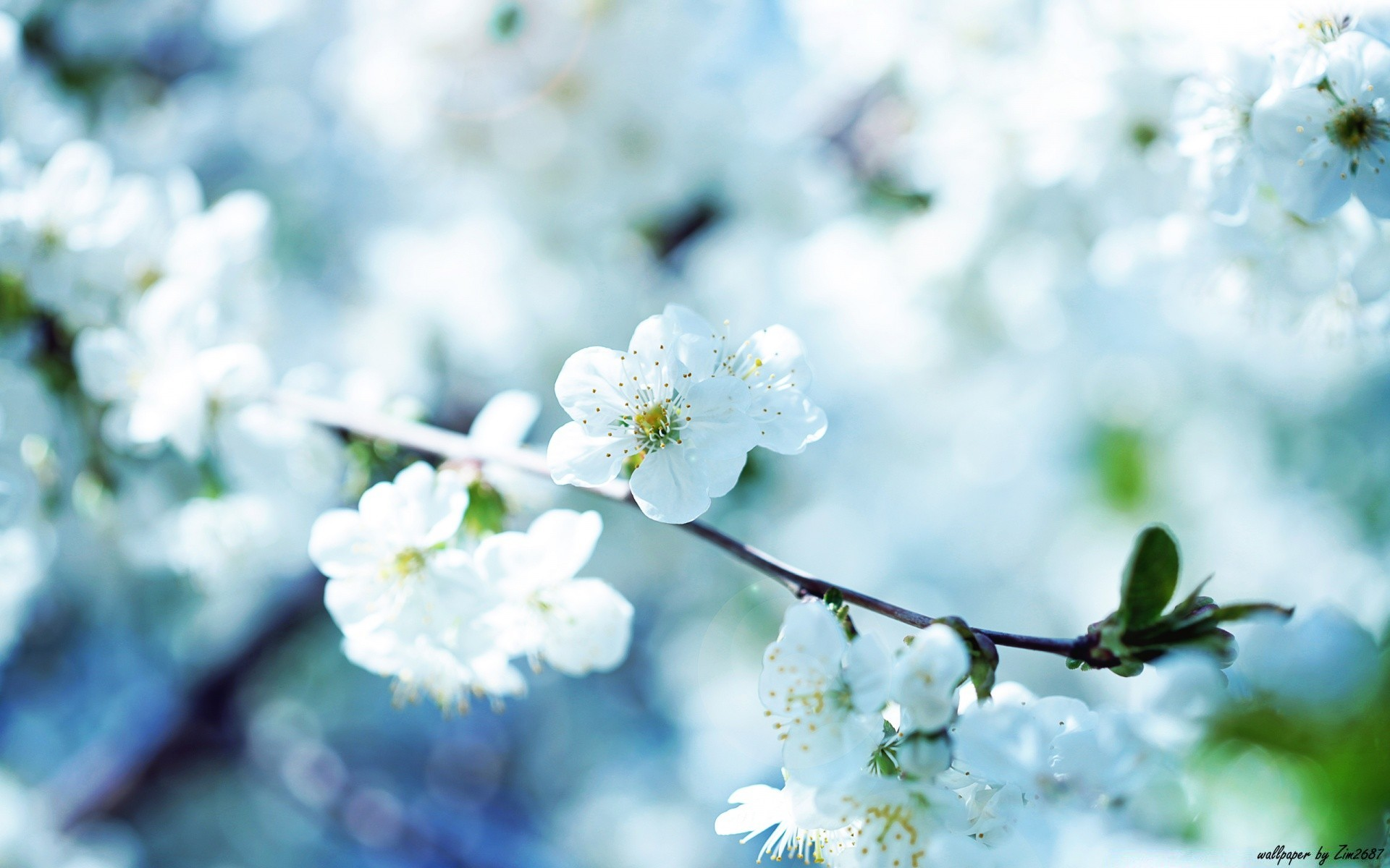 White Cherry Plum Flowers Android Wallpapers For Free
