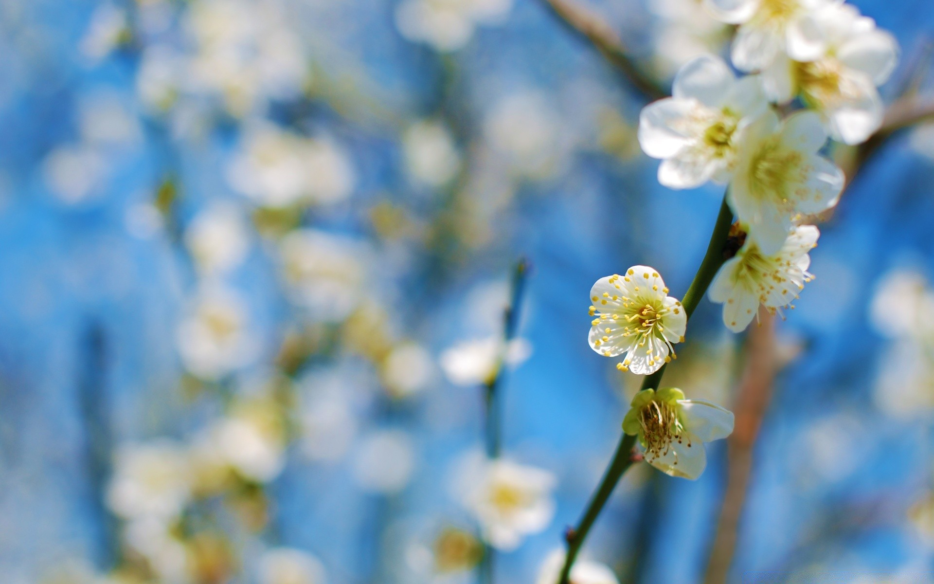 White Plum Blossom Iphone Wallpapers For Free