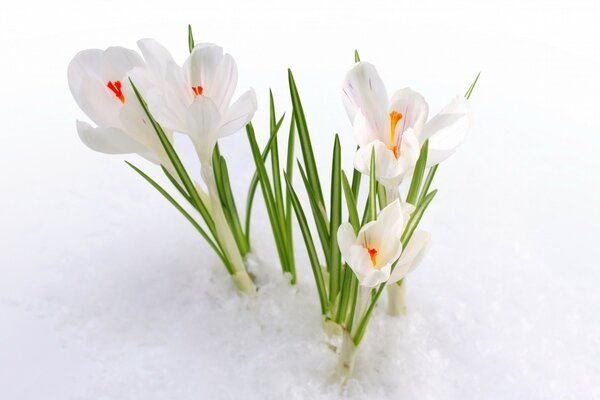 White Crocus In The Snow