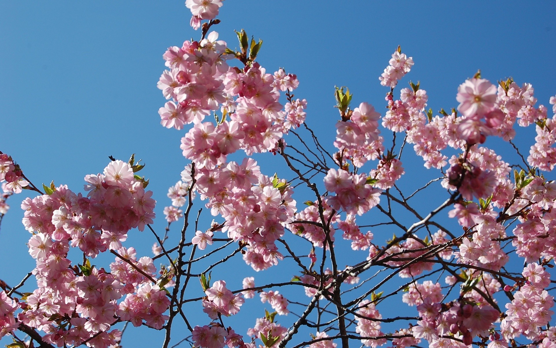 Japanese Cherry Blossom Tree IPhone Wallpapers For Free