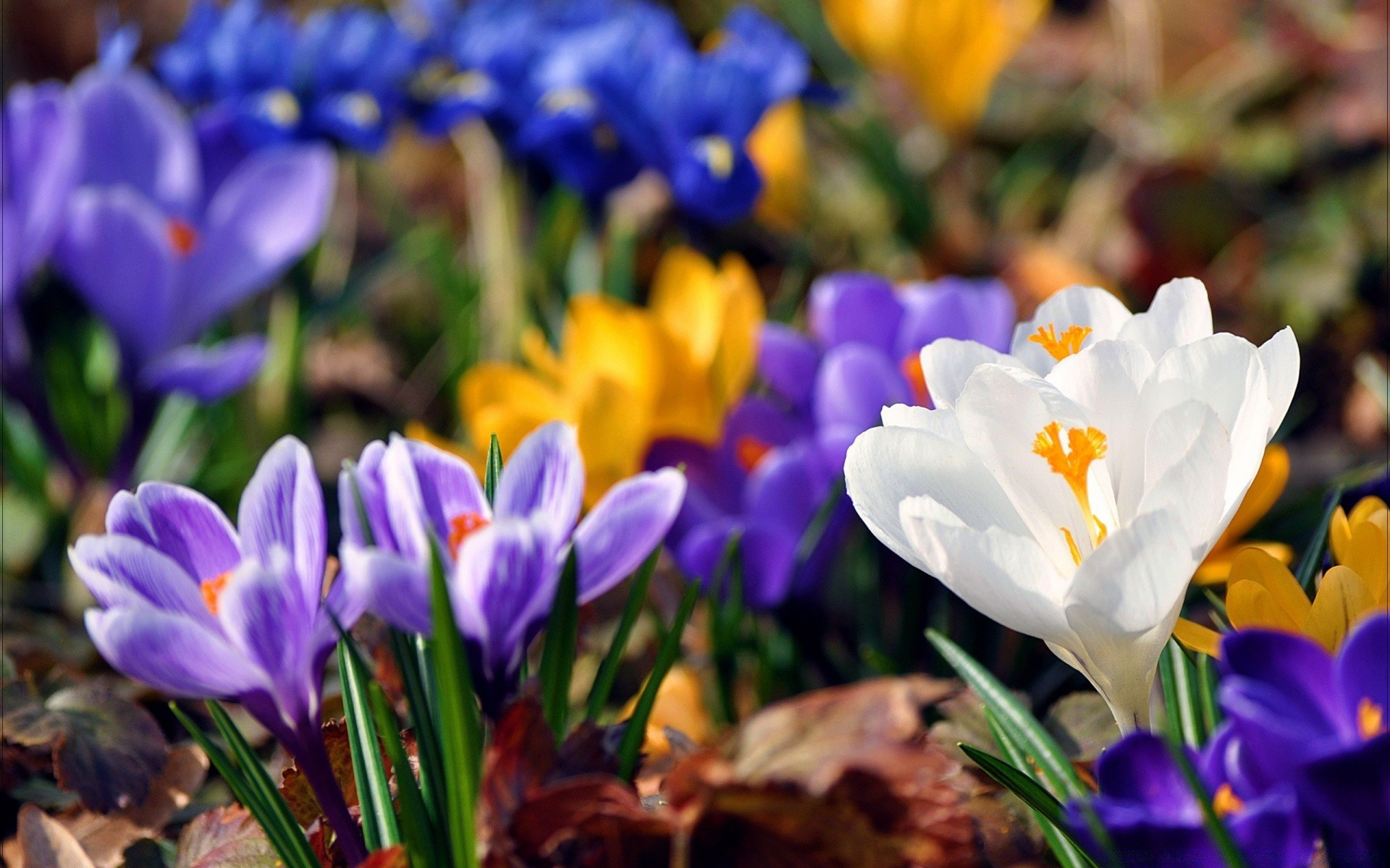 Crocus flowers spring android wallpapers for free spring flower nature flora garden easter leaf crocus floral blooming petal growth season color park summer mightylinksfo
