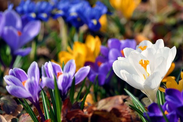 Crocus Flowers, Spring