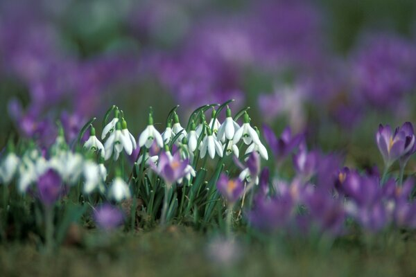 Snowdrops And Crocuses