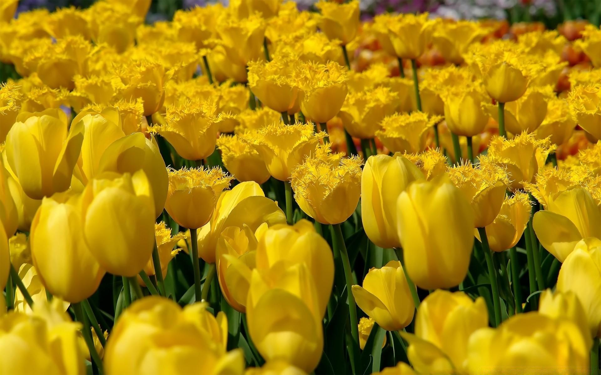 Yellow Tulips Flowers Golfclub
