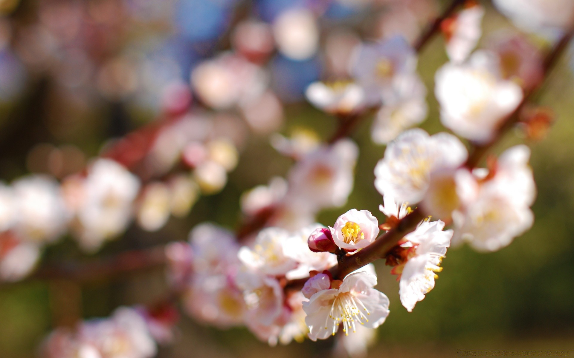 Plum Tree. Android wallpapers for free.