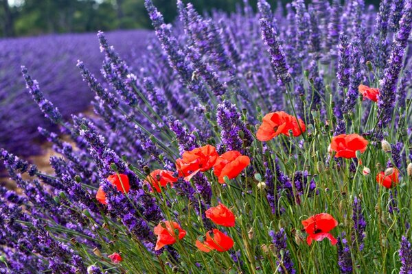Poppies And Lavenders