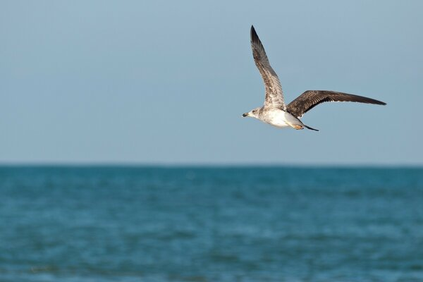 Seagull In Morocco