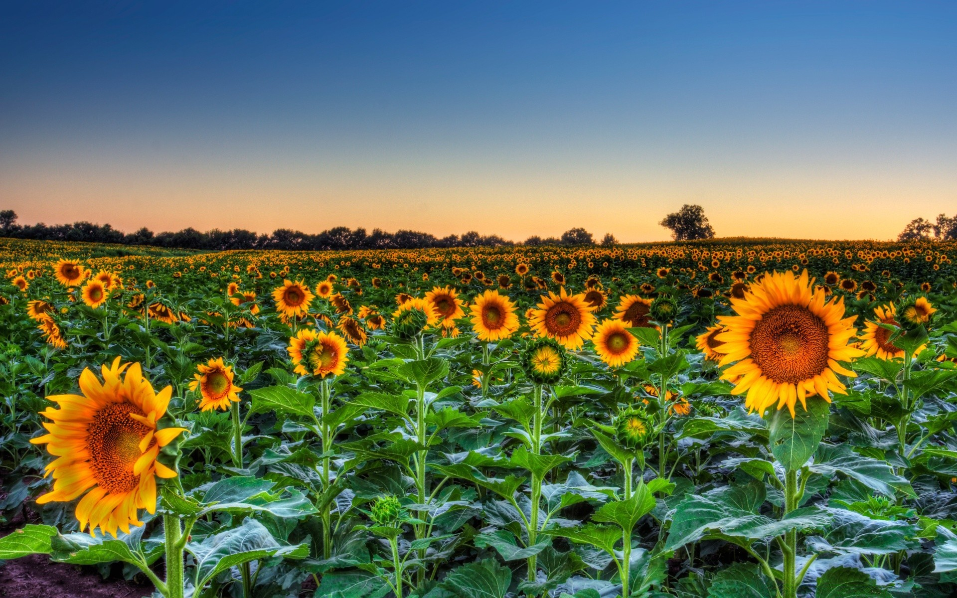 Sunflower Field Sunset IPhone Wallpapers For Free