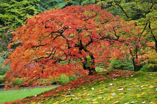 Japanese Maple In Fall, Portland, Oregon